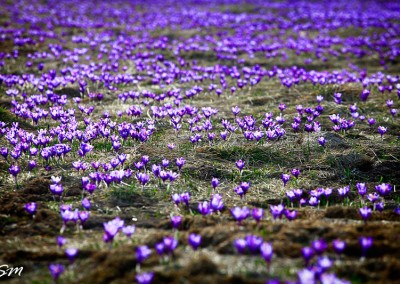Spring flowers in Bucovina